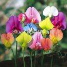 Flower Bonsai seeds 30pcs Sweet Pea Lathyrus Lord Anson's Bitter Vetch