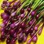Salad Bunching Red Mate Onion Vegetables, 100 seeds, edible organic salad spices