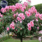 Big Pink Rose Tree, 50 Seeds,Professional Pack, big blooms light fragrant flower