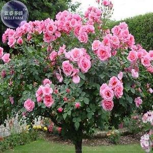 Big Pink Rose Tree, 50 Seeds,Professional Pack, big blooms light fragrant flower