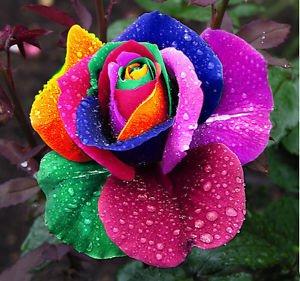 150 pcs Seeds Rare Holland Rainbow Rose Flower Home Garden Rare Flower Seeds