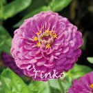 Zinnia Elegans Seeds 30pcs/lot 'Purple Prince' Seeds Annual Half-hardy Flower