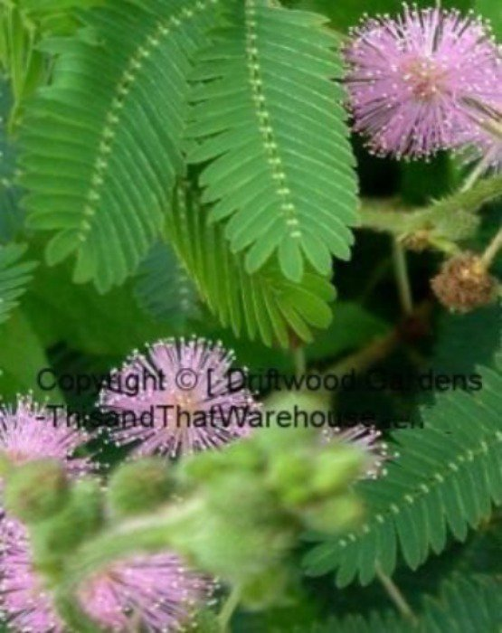 10 Seeds Sensitive Plant Mimosa pudica Leaves Move When Touched Tropical Indoor- Outdoor Plant