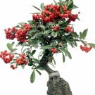 10 Tree Seeds Pyracantha coccinea Firethorn Bonsai Tree Seeds White Flower Red Berries