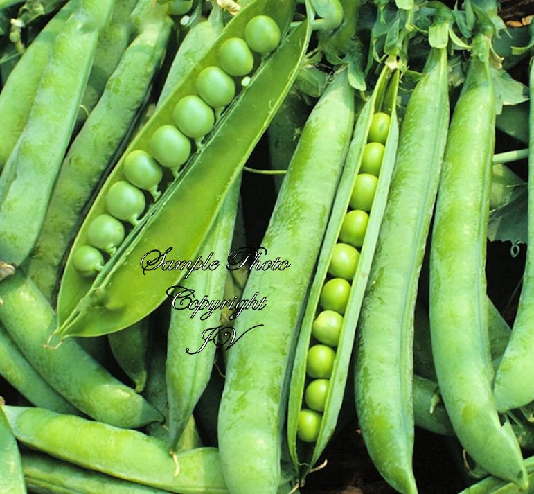 Early Frosty Pea 150 Seeds Non GMO Sweet Round Pods Fresh or Frozen Shell or Pod use