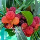 3 Rare Seeds Myrica rubra Rare Tropical Seeds Japanese Bayberry Great Houseplant Or Bonsai