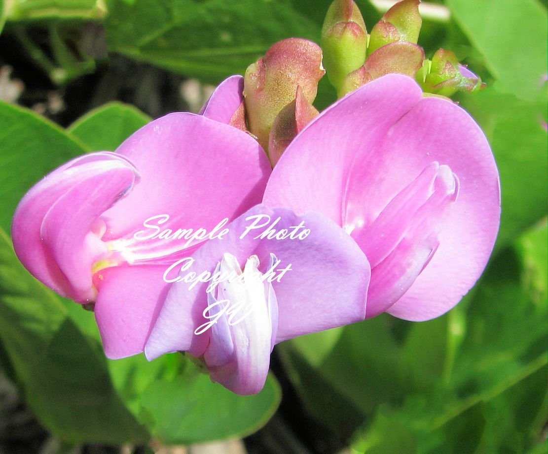 5 seeds  Canavalia rosea Beach Bean Seeds Super RARE! Pink Flowers