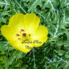 10 Flower seeds!  Argemone mexicana Mexican Poppy seeds annual wildflower Attracts Butterflies