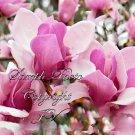5 Seeds Magnolia campbellii Stunning Pink Flower Ornamental Tree Zone 7+