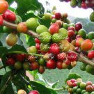 10 Seeds  Coffee arabica var Mandheling Tree Seeds! Container Gardening