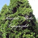 10 Seeds Calocedrus decurrens Seeds Incense Cedar Tree Evergreen Bonsai Perfect!