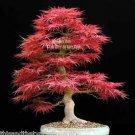 8 seeds Red Japanese Maple Tree Acer palmatum  Good Bonsai Spectacular Leaf Color