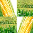 100 seeds Golden X Bantam Sweet Corn Seeds! Sweet and Juicy Home or Market Gardening