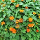 15 seeds  ithonia rotundifolia Mexican Sunflower seeds annual Attracts Butterflies