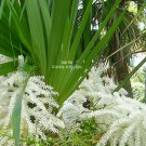 5 seeds Mountain Pimento Palm RARE Ornamental Tropical Plant Beautiful Foliage Schippia concolor