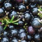 20 seeds Solanum melanocerasum Seeds Tropical Garden Huckleberry White Flowers Organic