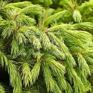 7 seeds Picea smithiana Himalayan Spruce Seeds Drooping Branchlets Bonsai or Standard