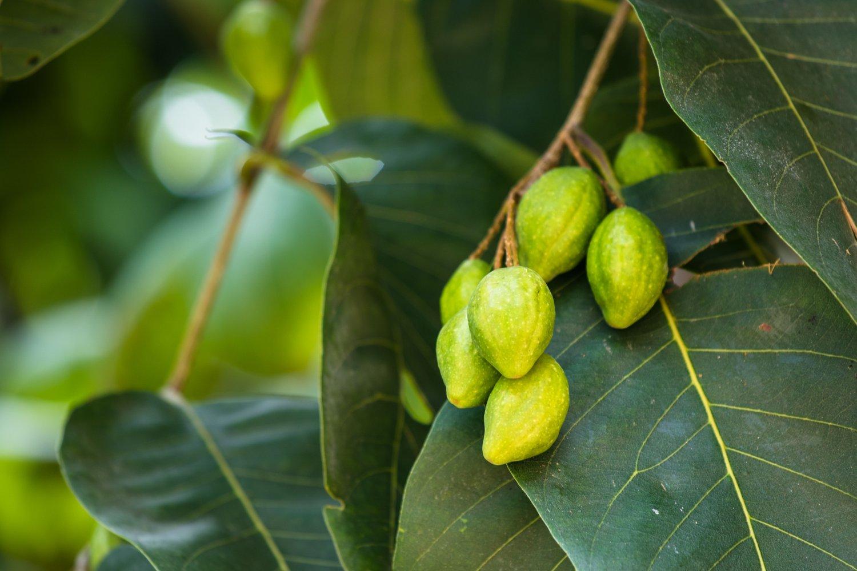 3 Tropical seeds! Rare! Terminalia chebula Chebulic Myrobalan Haritaki Tree  Seeds Tropical Gardening