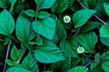 Aztec sweet herb-Lippia dulchis-better than stevia.safe for diabetic.Mint Mayan 30+ seeds
