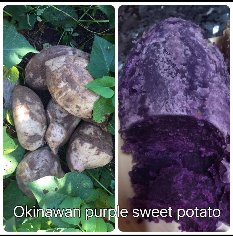 Okinawan Purple Sweet Potato (6 rooted cuttings for $10 + shipping)