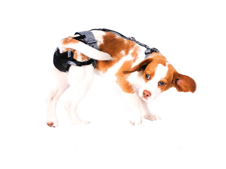 PABS Deley Her Spay Harness (Small)