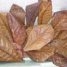 50 pcs A+ BEST Catappa Ketapang Indian Almond Leaves Shrimp Betta Discus