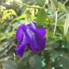 20 Blue Butterfly Pea Flower Seeds,Clitoria Ternatea,EASY TO PLANTS,ORGANIC100%