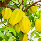 10 Thai Sweet Star Apple Fruit Seeds,Averrhoa Carambola Tropical Exotic Rare