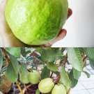 20 Thai Sweet Guava Rare Seeds,Guava Apple in pot,Fresh Tropical Psidium Guajava