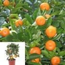 5 Thai Calamondin Minature Fruit Tree Seed Dwarf Citrus Fortunella Japonica