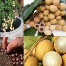 Dwarf Longan Sri Chompoo Aka Dragon Eye Exotic Fruit Seeds, 10 Seeds Thailand