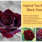 120 Hybrid Tea Rose Black Pearl Seeds Good Aroma DIY Home Garden Bush Bonsai