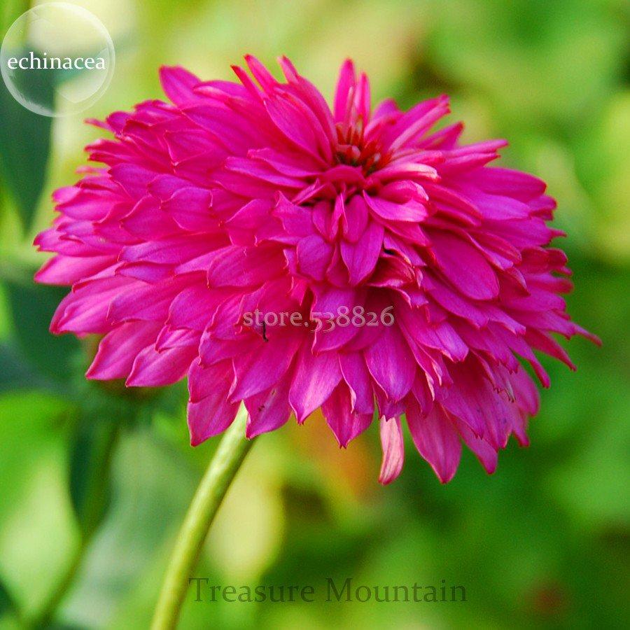Rare 'Pink Poodle' Echinacea Purpurea, 100 Seeds, big blooms double coneflowers