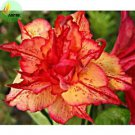 'Golden Carrort' Gold Red Adenium Obesum Desert Rose Seeds, Professional Pack