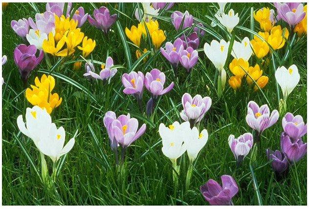 Saffron seeds,saffron flower seeds In bloom all year round, garden decoration