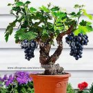 Miniature Grape Vine Seeds - PATIO SYRAH - Vitis Vinifera - Houseplant