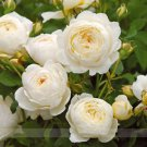 Imported 'Claire Austin' Rare White Shrub Rose Flower Seeds, Professional Pack