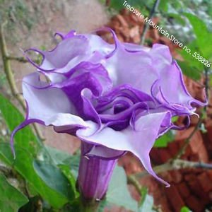 Purple Corrugated Double Morning Glory 10 Seeds, Heirloom Garden Annual Climbing