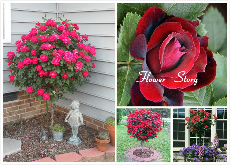 50 Red Rose Tree Seeds,gorgeous bright-colored, DIY Home Garden Potted