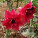 'Boisterous Elation' Adenium Desert Rose, 2 Seeds, big blooms fire