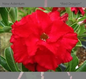 1 Professional Pack, 2 seeds / pack, Variegated Adenium Obesum Red Dragon Desert