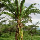 100/bag banana seeds rare china fruit seeds for home garden planting easy grow