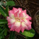 Adenium Desert Rose, 2 Seeds, big blooms pink yellow double petals