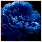 Very Rare 'Luo Yang' Dark Blue Tree Peony Flower Seeds