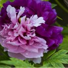 Rare New 'Za Gu' Pink Purple Peony Tree Flower Seeds