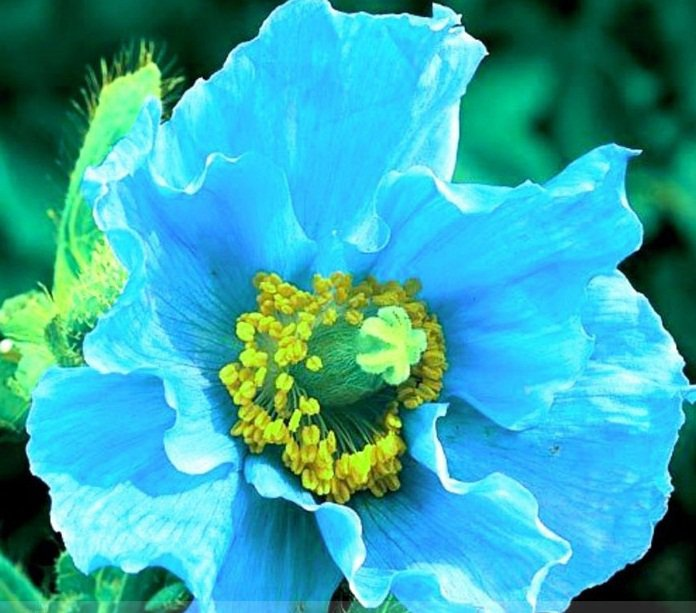 Rare Blue Himalayan Poppy Seeds, Professional Pack