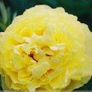 Rare New 'Huang Huakui' Golden Yellow Peony Flower Seeds