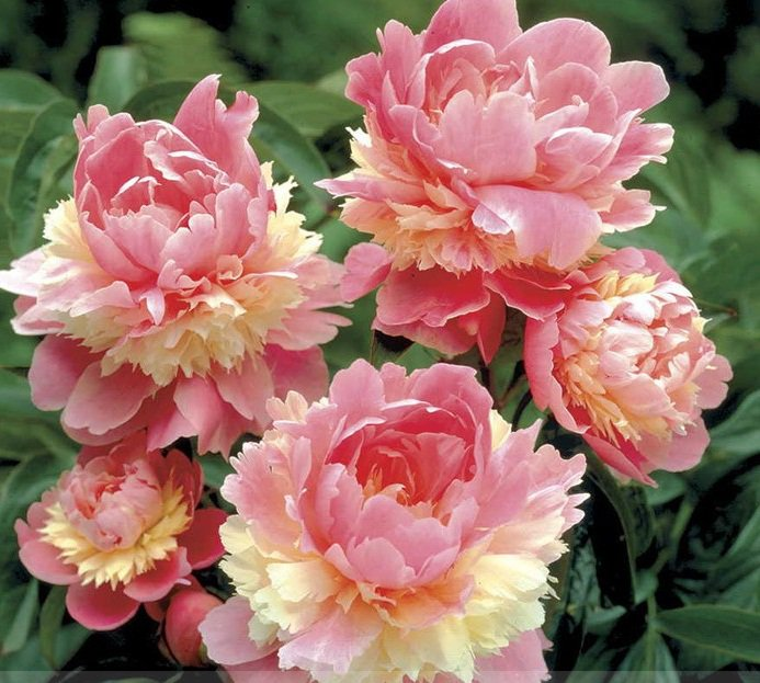 Rare Heirloom Sorbet Robust Colorful Double Blooms Peony Tree Seeds