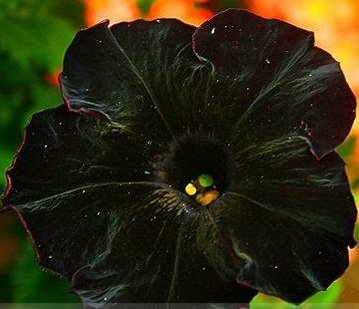 Rare Super Black Cat Petunia Flower Seeds
