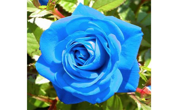 Light Blue Rose Plant Seed